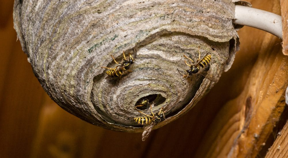 Wasp Nest Removal Leicester