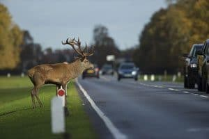 Deer Causing Danger on Road