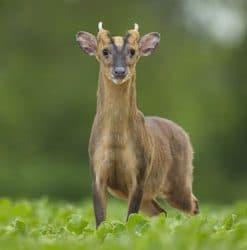 deer management UK